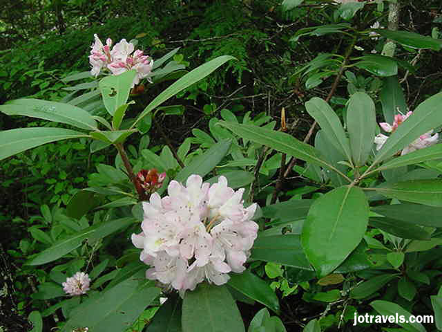 The rhododendron in Breaks Interstate Park begin blooming in mid May and last through June